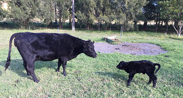 New born calf and mum