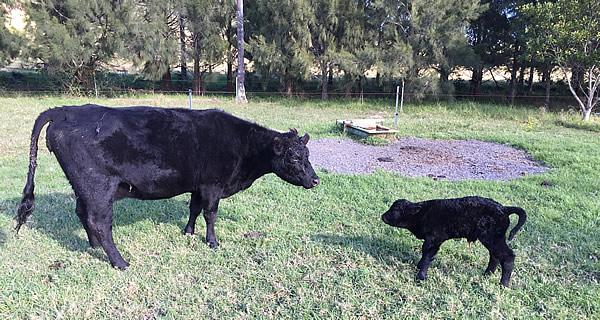 New born calf and mum