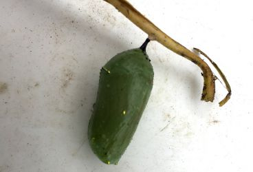 Caterpillar in a Chrysalis